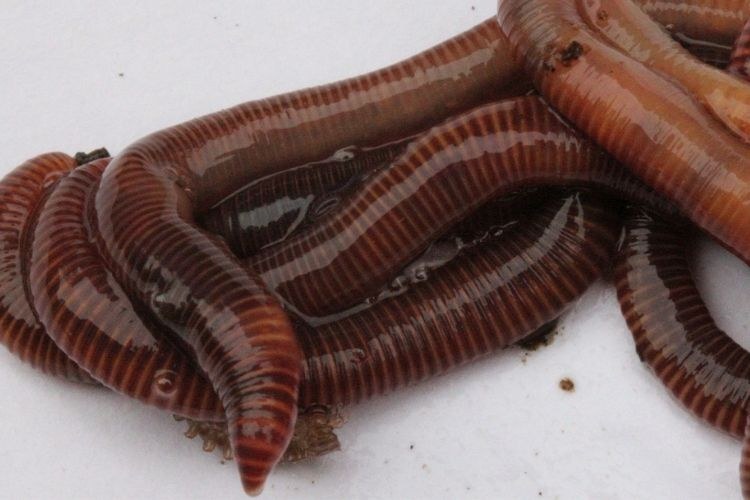 Worms for Vermicomposting